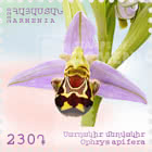 Flora and Fauna of Armenia( 230) - Ophrys apifera