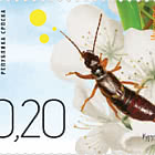 Insects - Earwig