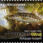 Fauna 2018 - Fish - Aulopyge Hugelii