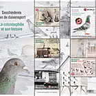 Winning Belgium - The History of Pigeon Racing
