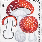 Estonian Mushrooms - Fly Agaric