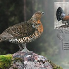 Bird of the Year - Capercaillie