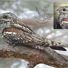 Bird of the Year - The European Nightjar