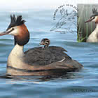 Bird of the Year - The Great Crested Grebe