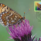 Butterfly Of The Year – Marsh Fritillary