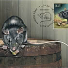 爱沙尼亚动物区系–黑老鼠
