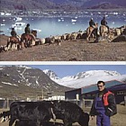 Agriculture in Greenland III
