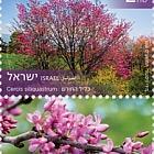Trees of Israel - Cercis Siliquastrum