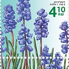 Autumn Flowers - Muscari Parviflorum