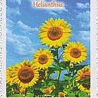 Flora - Helianthus