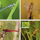 Dragonflies - II