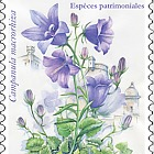 National Species- Thick Rooted Campanula- (Set Mint)