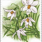 The French Snowflake (Acis Nicaeensis) - Mint