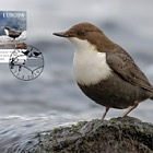 Europa 2019 - Norway's National Bird
