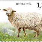 Fauna 2018 - Domestic Animals - Bovec Sheep