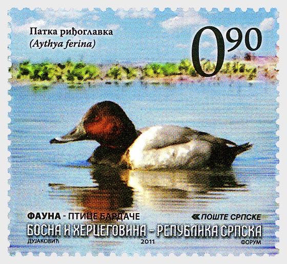 Fauna - Birds of Bardaca - The Common Pochard - Set