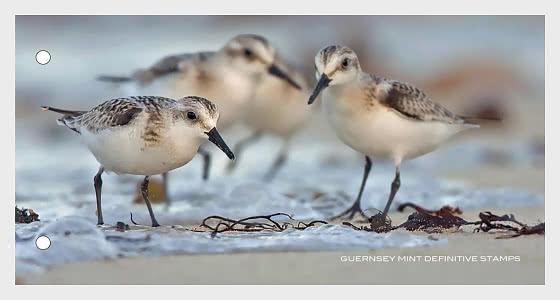 Definitivo di Guernsey - Uccelli - Presentation Pack