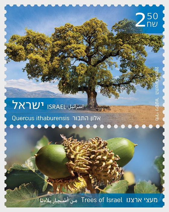 Trees of Israel - Quercus Ithaburensis - Set