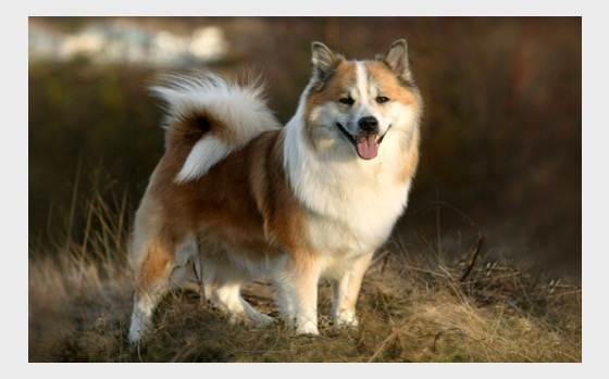 New Postcards 2017 - The Icelandic sheepdog (Canis lupus familiaris) - Postcard
